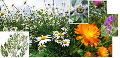 Collecting medicinal herbs
