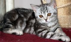 Продажа котят : Шотландские вислоухие и прямоухие