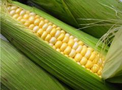 Заготовка кукурузы