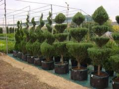 Продажа растений: хвойные, лиственные, лианы, почвопокровные, цветы