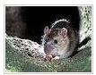 Уничтожение крыс  в Киеве и Украине