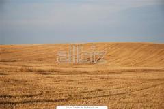 Уборка, сбор и обмолот урожая зерновых культур