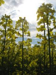 Уборка, сбор, обмолот урожая зерноуборочными комбайнами: ранних зерновых, рапса с рапсовым столом во всех областях Украины