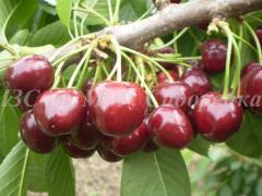 Селекция и сортоизучение плодовых культур