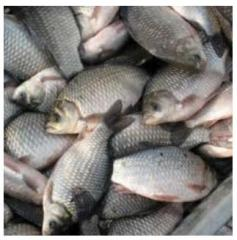 Cultivation and implementation of commodity fish