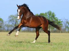 Продажа лошадей Конный завод Статус, ООО