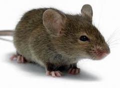 Extermination of mice, rats. Nikolaev.