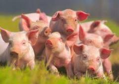 Продажа свиней живым весом