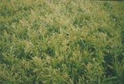 Millet grade Tavriysky, seed-growing economy