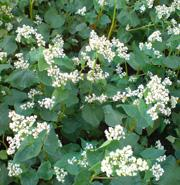 Buckwheat grade Amazon