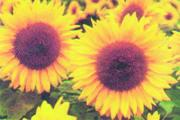Sunflower grade Mirage