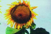 Sunflower grade Don large-fruited, seed-growing