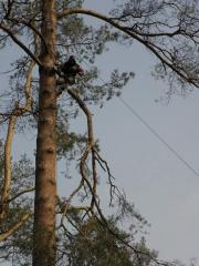 Санитарная обрезка деревьев, обрезку сухих и