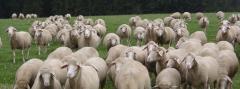 Овцы,овца, Немецкая  овца Мериноланд, продажа овец, овцы в Украине, купить овец в большом количестве, недорого овцы в Украине, продажа животных, овцы племенные