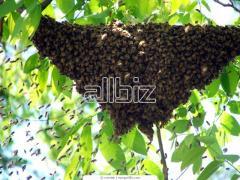 Массовая селекция пчёл