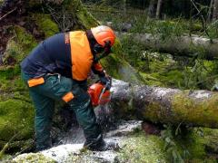 Saw cut of trees
