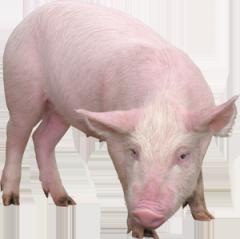 Продажа Свиней