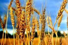 Торгово-закупочная деятельность, зерновые культуры