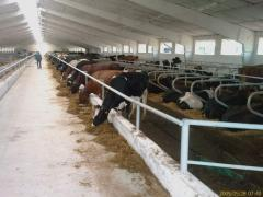 Modern technological support of dairy farms and