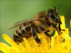 Массовая селекция пчёл цена, Хмельницкая область,