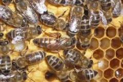 Селекция пчел цена, Хмельницкая область, Украина