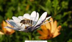 Лечение остеохондроза укусами пчел, пчелоужаление Украина