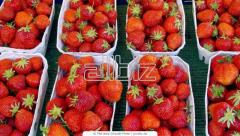 Cultivation of strawberry