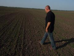 Agronomical maintenance of cultivation of flax.