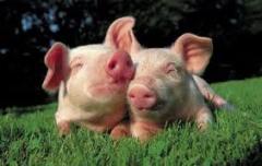 Перевозка свиней, доставка свиней, живым весом по
