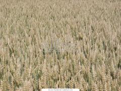Уборка урожая сбора сельскохозяйственных культур при помощи зерноуборочных комбайнов