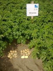 Production of seeds of potatoes