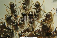 Уничтожение муравьев Киев