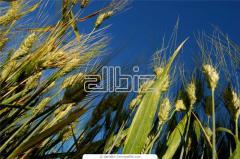 Выращивание зерновых культур, Винницкая область.