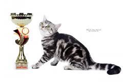 Американские короткошерстные кошки. Продажа