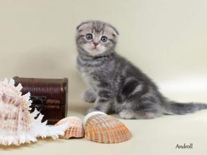 Шотландские вислоухие кошки и котята. Продажа