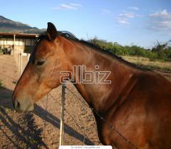 Продажа лошадей на убой