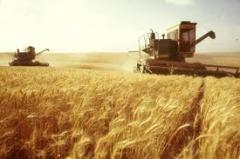 Выращивание зерновых, зерна Украина