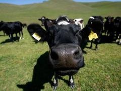 Разведение КРС, племенное животноводство, осеменение КРС, весь комплекс услуг племенного хозяйства.