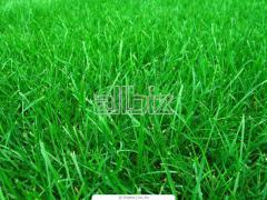 Выращивание рулонных газонов