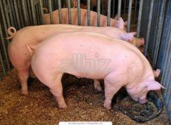 Transportation of pigs, krs and other animals