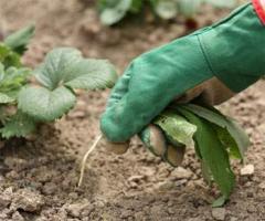 Табачная пыль для борьбы с сорной растительностью