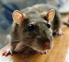 Уничтожение крыс.