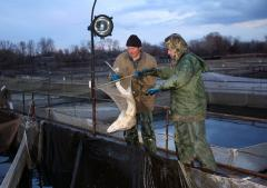 Sturgeon breeding in ponds