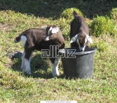 Селекция коз