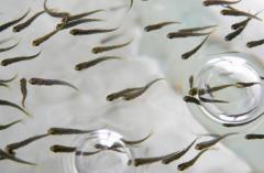 Разведение пресноводной рыбы