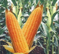 Перевозка кукурузы