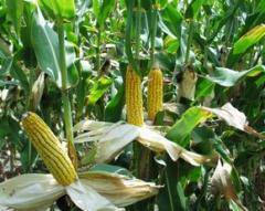 Перевозка кукурузы в больших объемах