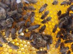 Пчеломатка Карпатская