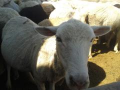 Овцеводство.