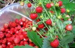 I will sell berries wholesale fresh and frozen: